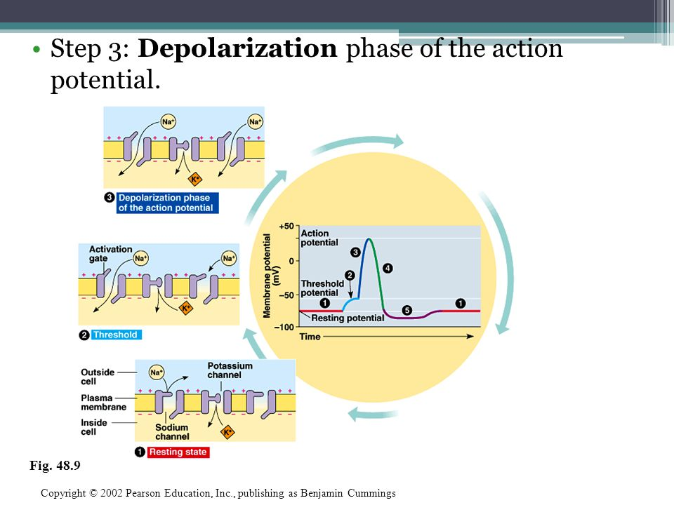 Step 3: Depolarization phase of the action potential.