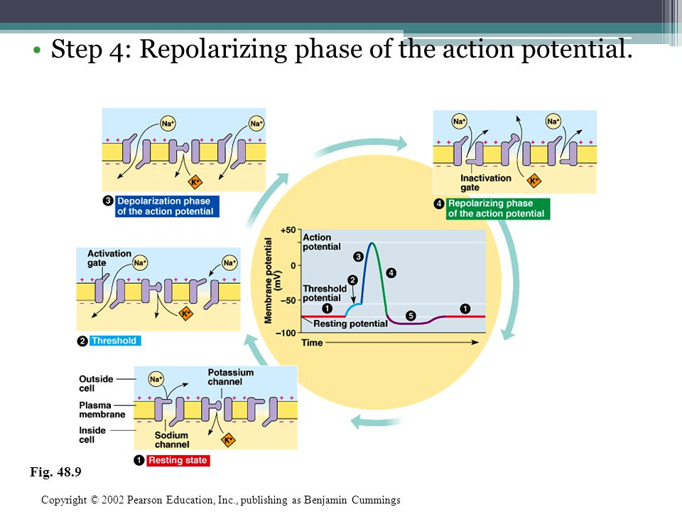 Step 4: Repolarizing phase of the action potential.