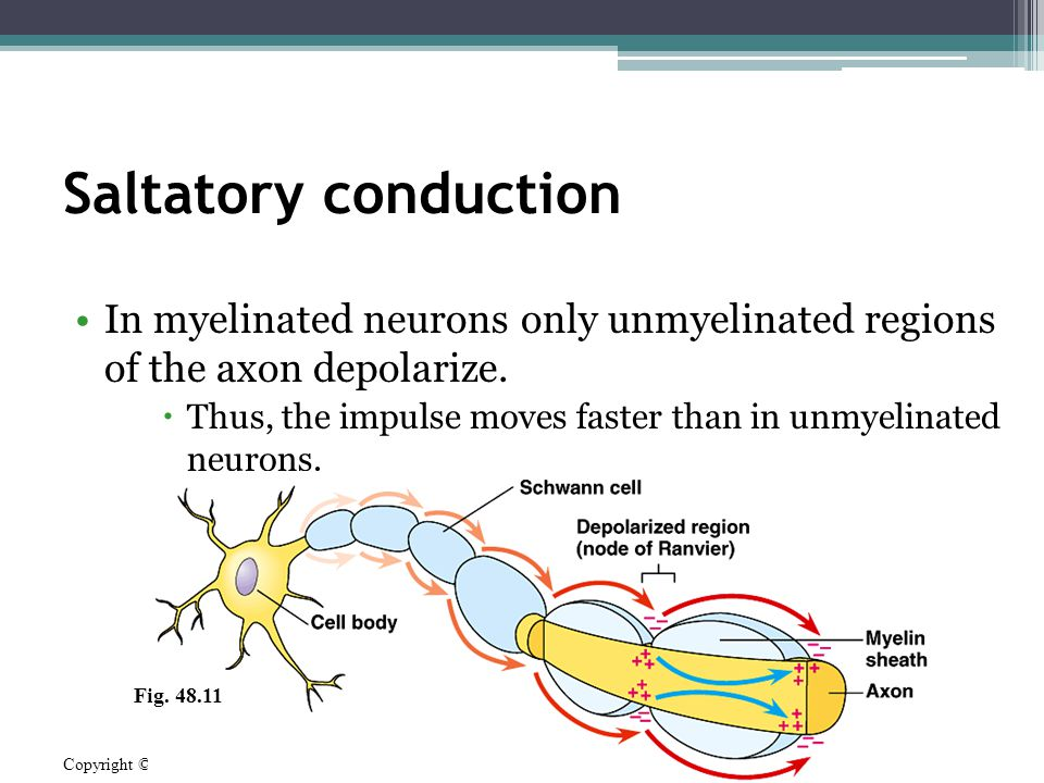 Saltatory conduction In myelinated neurons only unmyelinated regions of the axon depolarize.