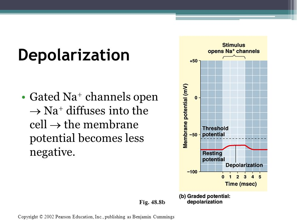 Depolarization Gated Na+ channels open  Na+ diffuses into the cell  the membrane potential becomes less negative.
