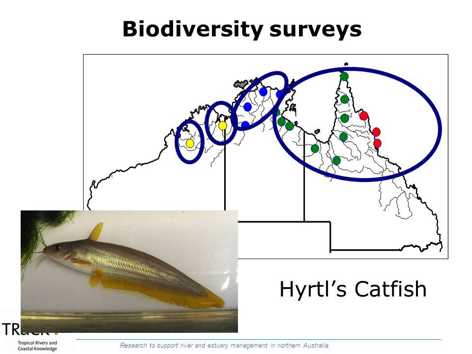 Biodiversity surveys Hyrtl's Catfish