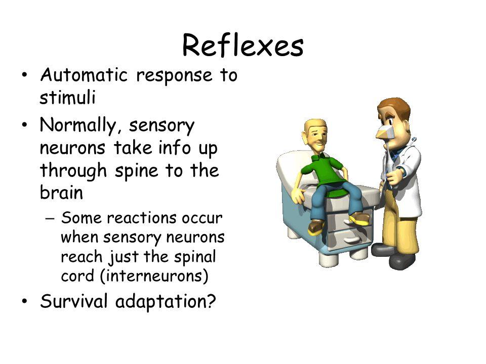 Reflexes Automatic response to stimuli