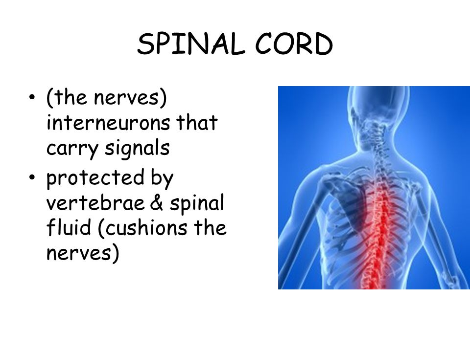 SPINAL CORD (the nerves) interneurons that carry signals
