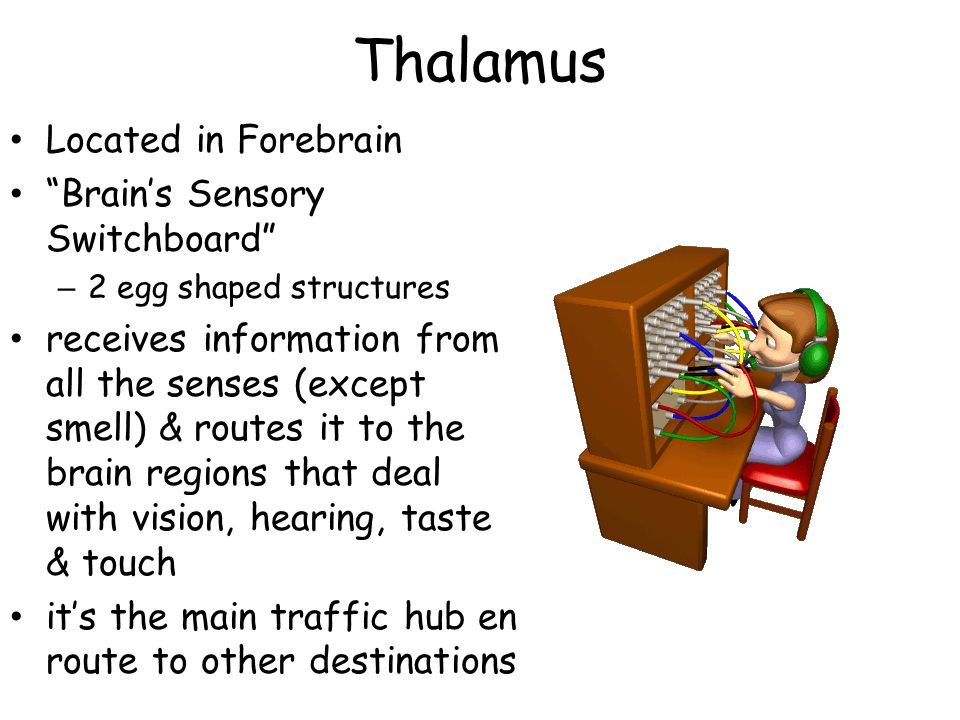 Thalamus Located in Forebrain Brain's Sensory Switchboard