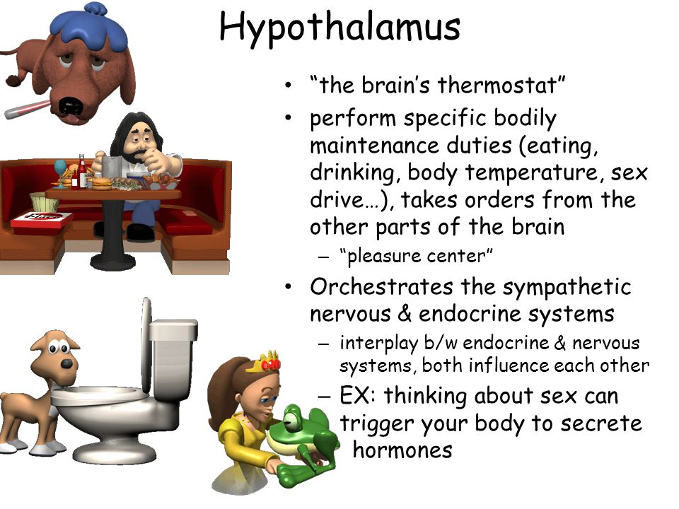 Hypothalamus the brain's thermostat