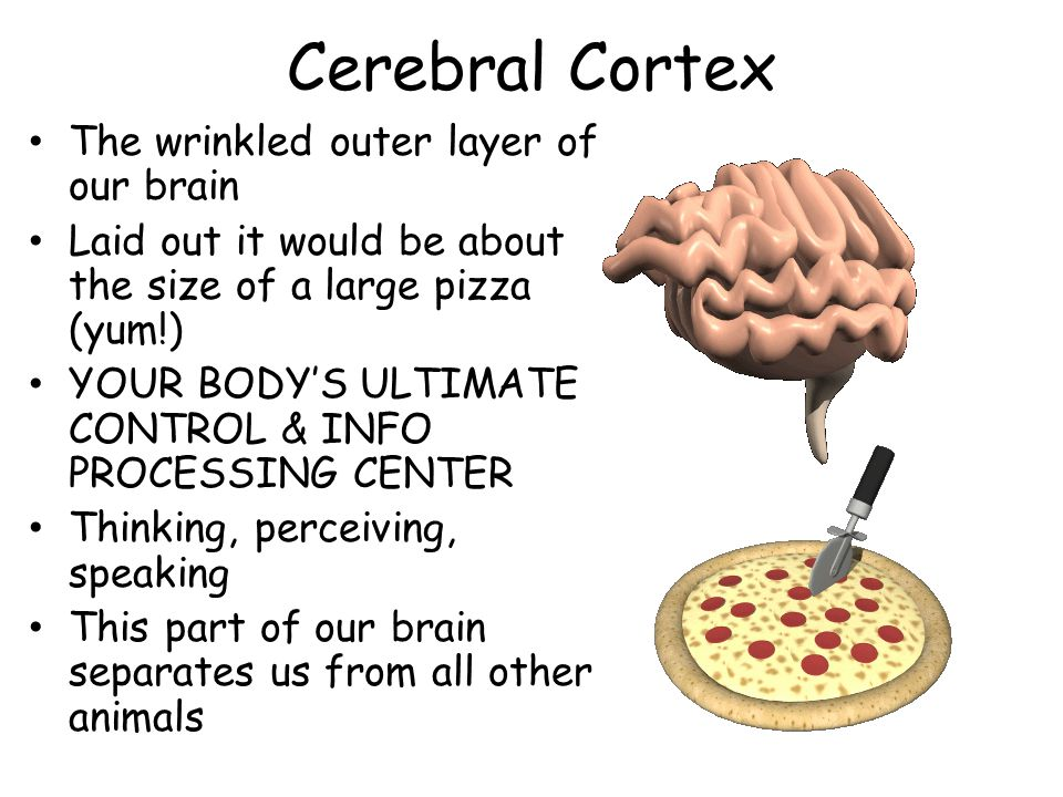 Cerebral Cortex The wrinkled outer layer of our brain