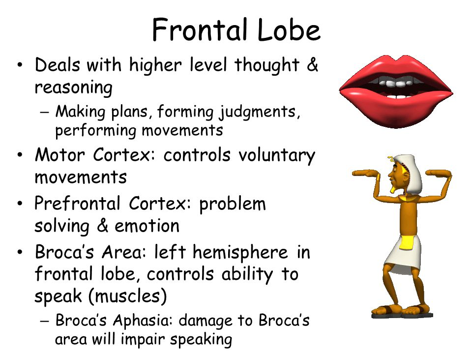 Frontal Lobe Deals with higher level thought & reasoning