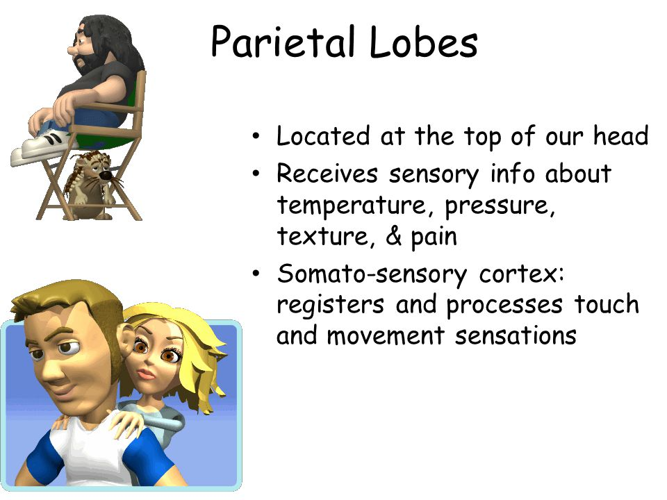 Parietal Lobes Located at the top of our head