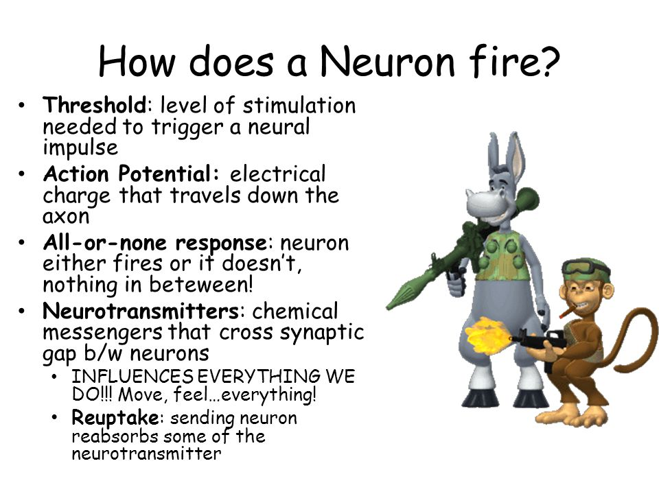 How does a Neuron fire Threshold: level of stimulation needed to trigger a neural impulse.