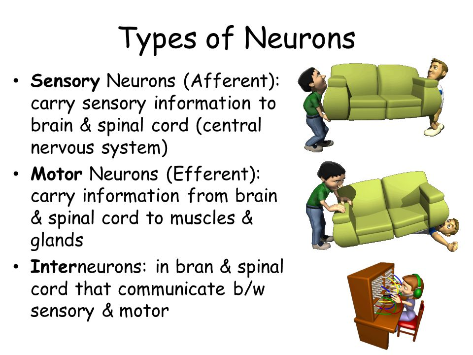 Types of Neurons Sensory Neurons (Afferent): carry sensory information to brain & spinal cord (central nervous system)
