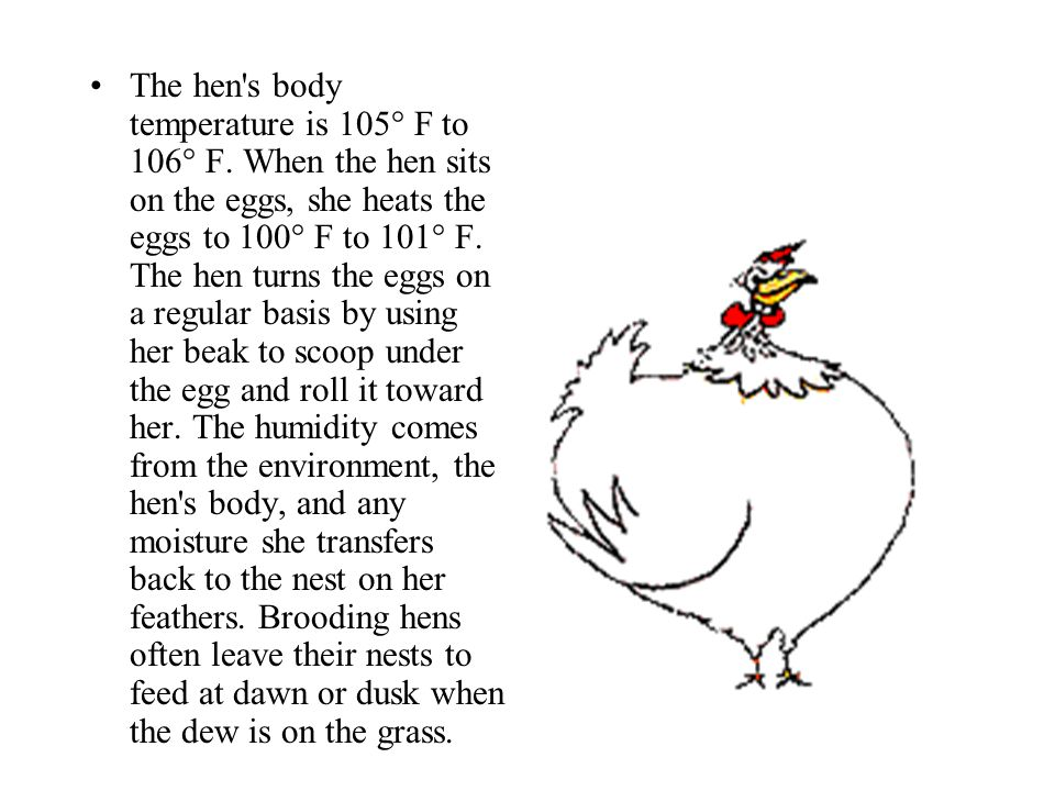 The hen s body temperature is 105° F to 106° F