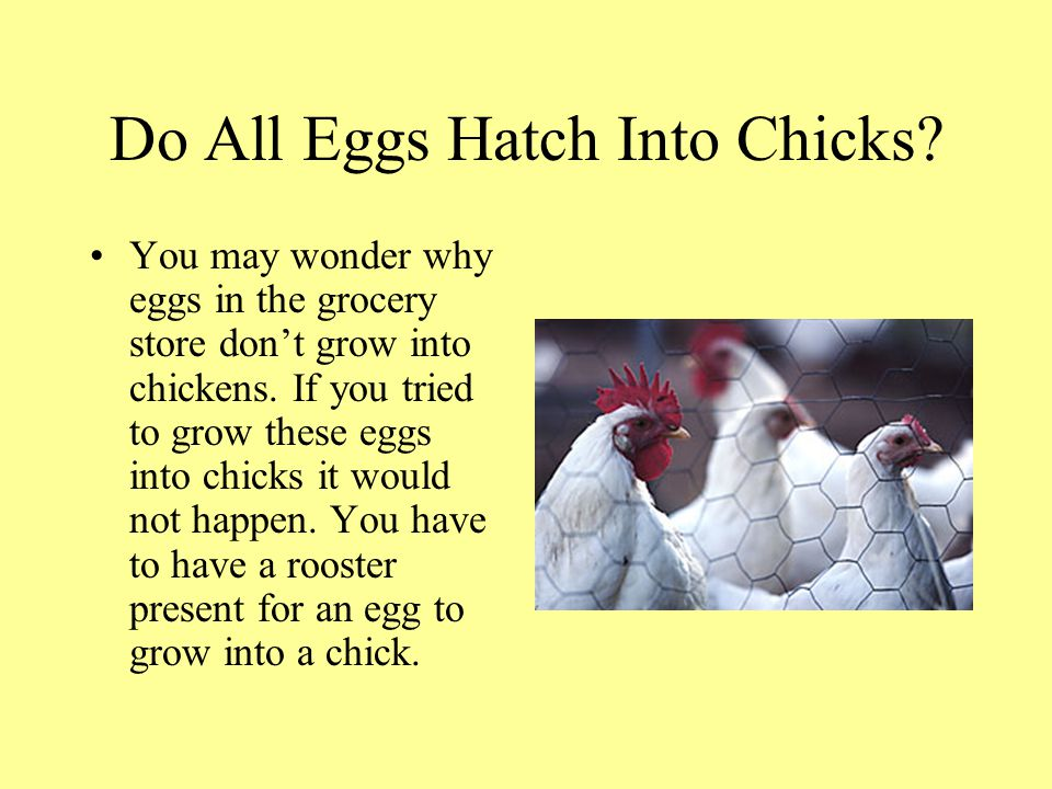 Do All Eggs Hatch Into Chicks