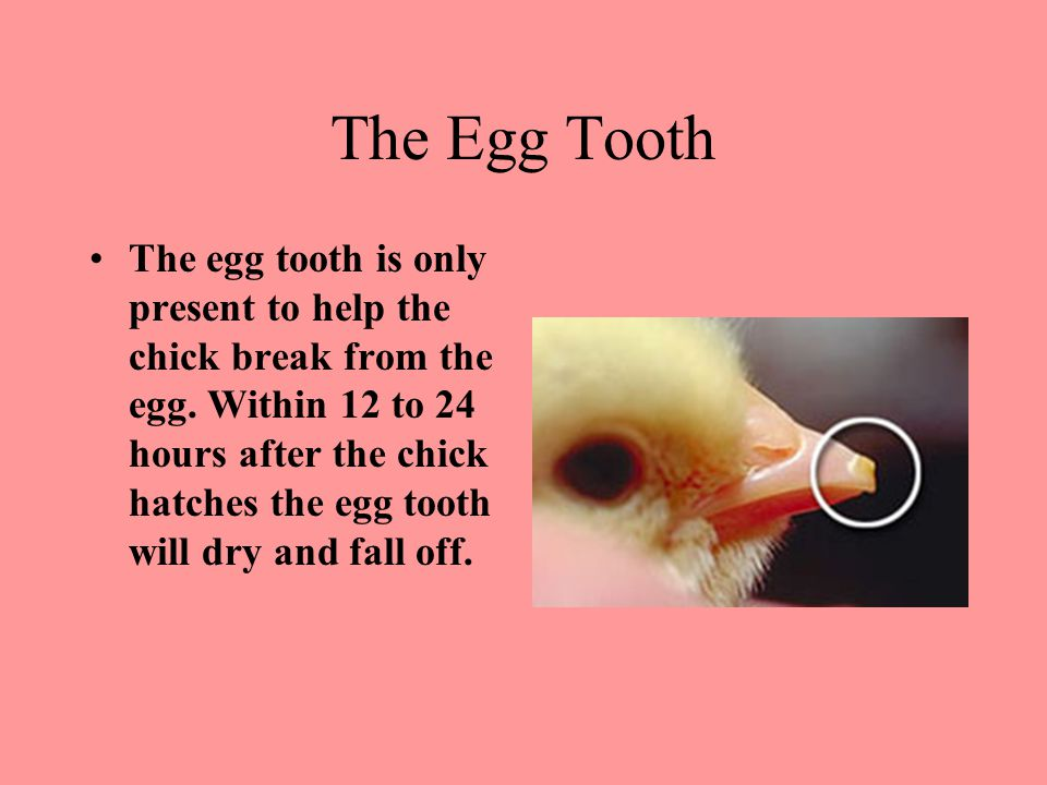 The Egg Tooth