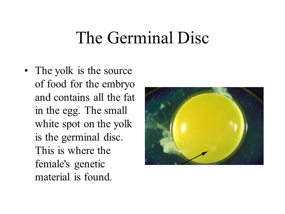 The Germinal Disc