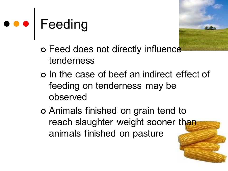 Feeding Feed does not directly influence tenderness