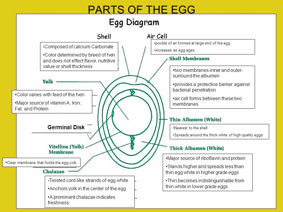 PARTS OF THE EGG Germinal Disk