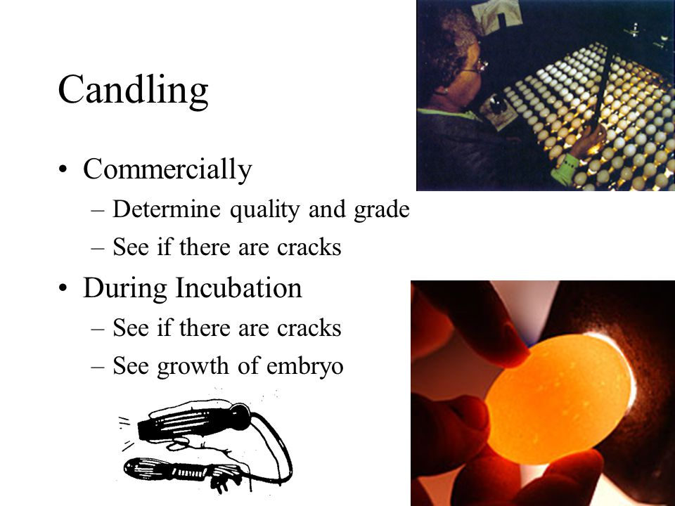 Candling Commercially During Incubation Determine quality and grade