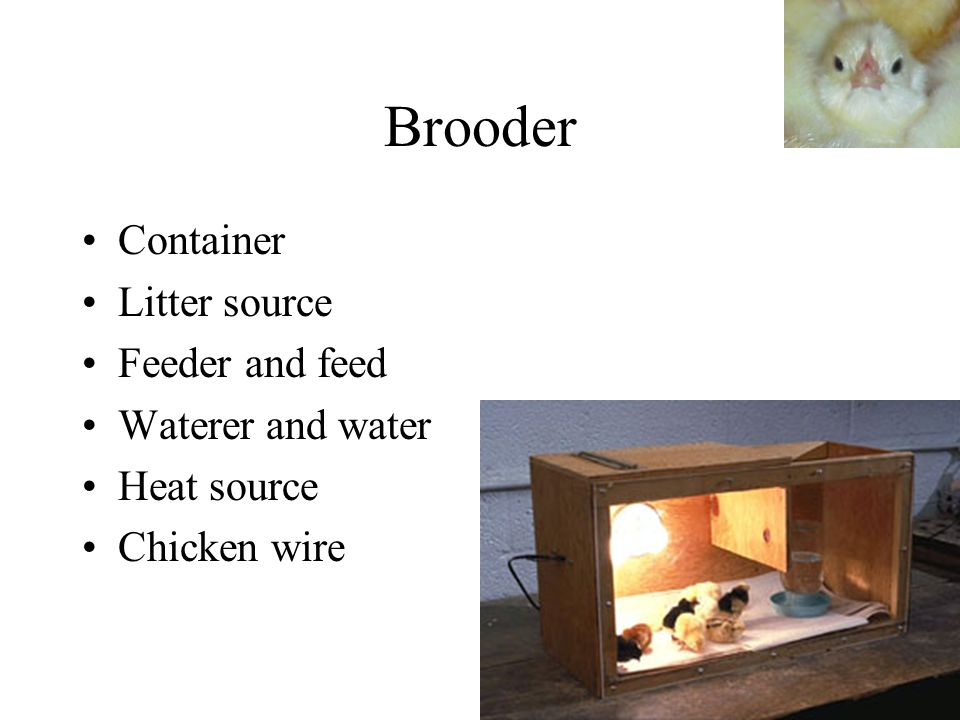 Brooder Container Litter source Feeder and feed Waterer and water