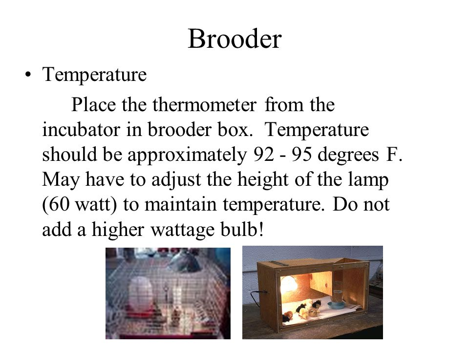 Brooder Temperature.