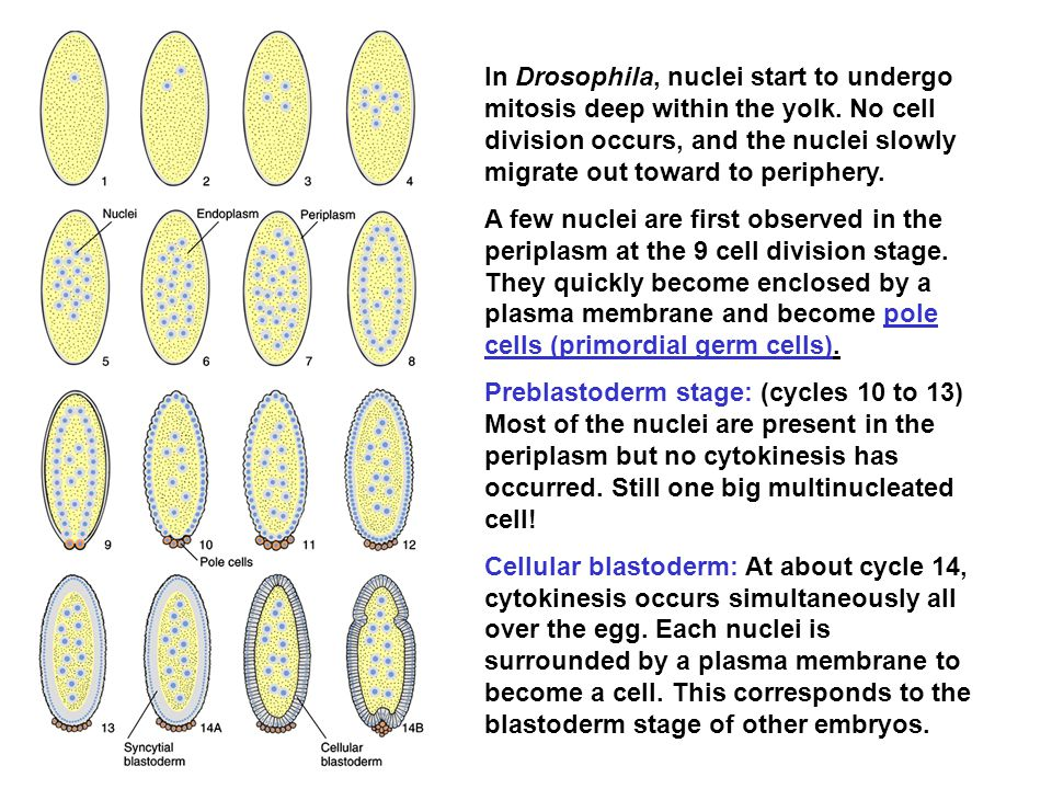 In Drosophila, nuclei start to undergo mitosis deep within the yolk