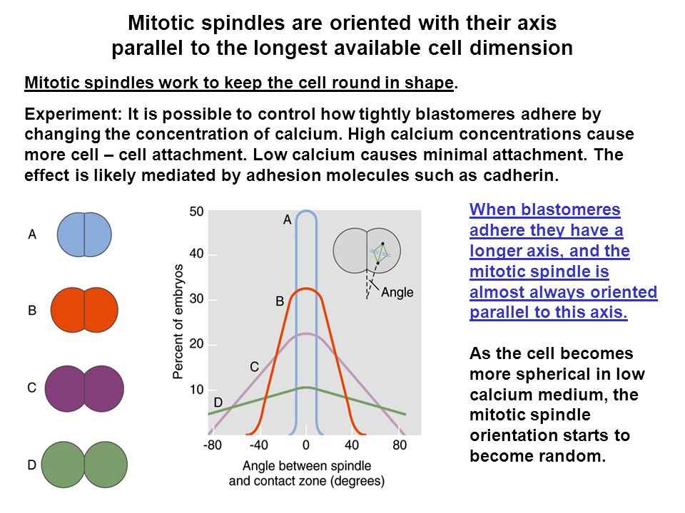 Mitotic spindles are oriented with their axis