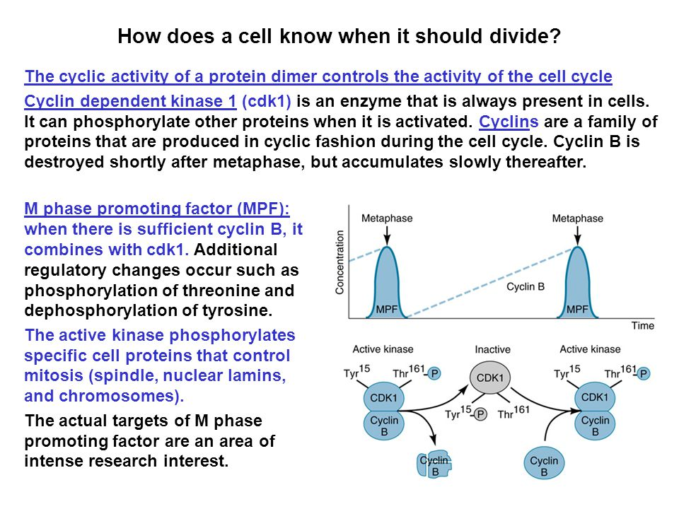 How does a cell know when it should divide