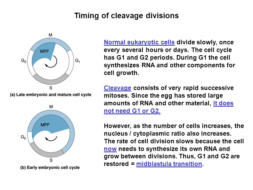 Timing of cleavage divisions