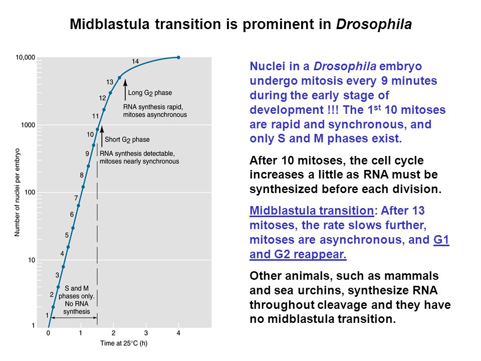 Midblastula transition is prominent in Drosophila