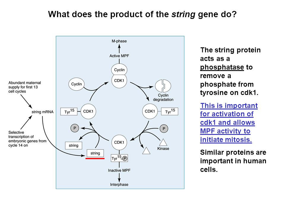 What does the product of the string gene do