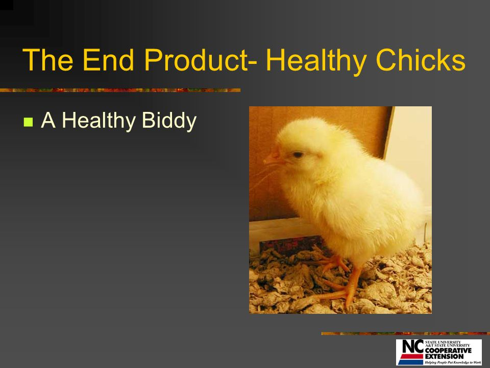 The End Product- Healthy Chicks