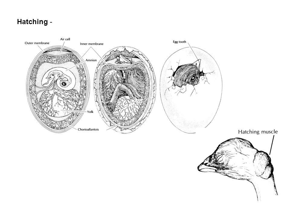 Hatching -