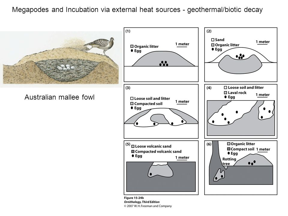 Megapodes and Incubation via external heat sources - geothermal/biotic decay