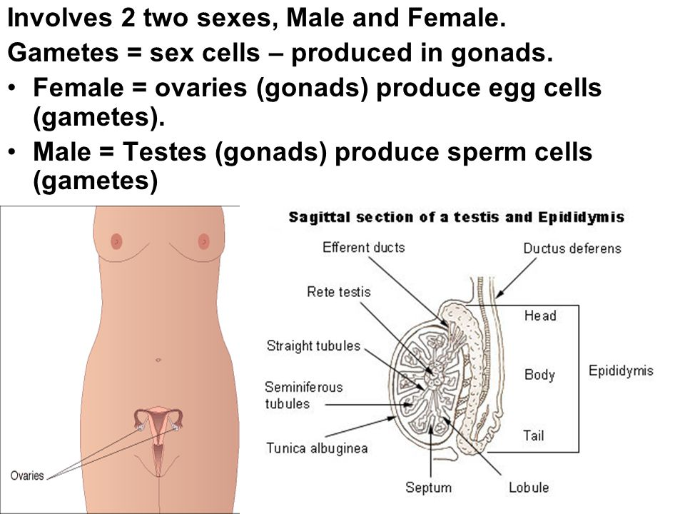 What are sex cells