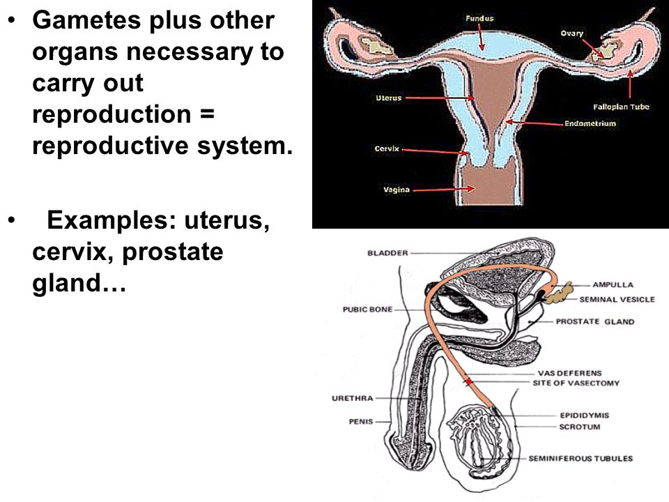 Gametes plus other organs necessary to carry out reproduction = reproductive system.