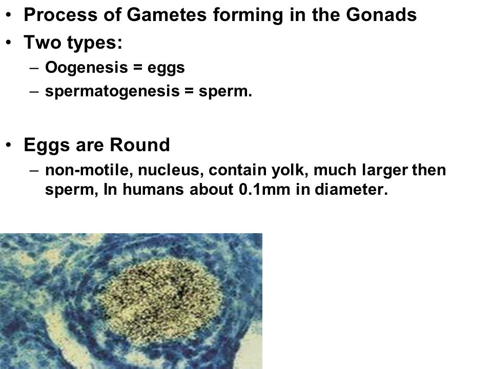 Process of Gametes forming in the Gonads Two types: