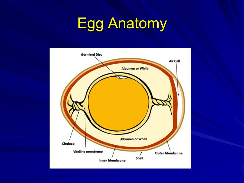 Egg Anatomy Chalaza suspends the yolk in the albumen.