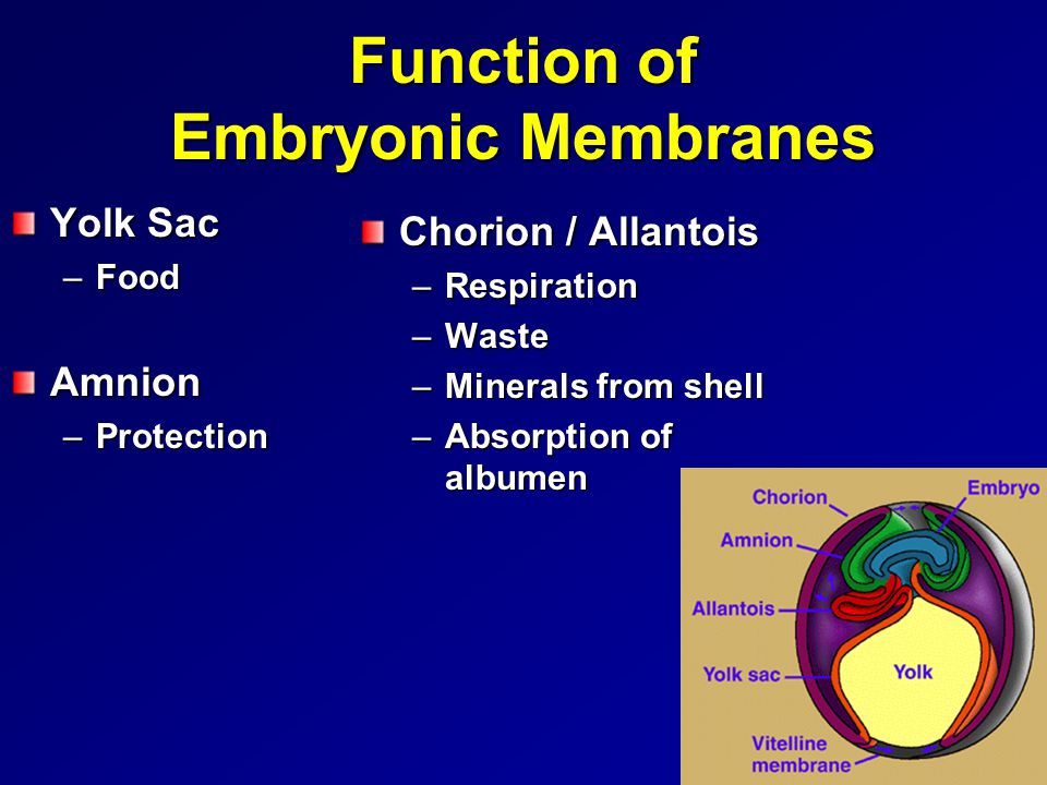 Function of Embryonic Membranes