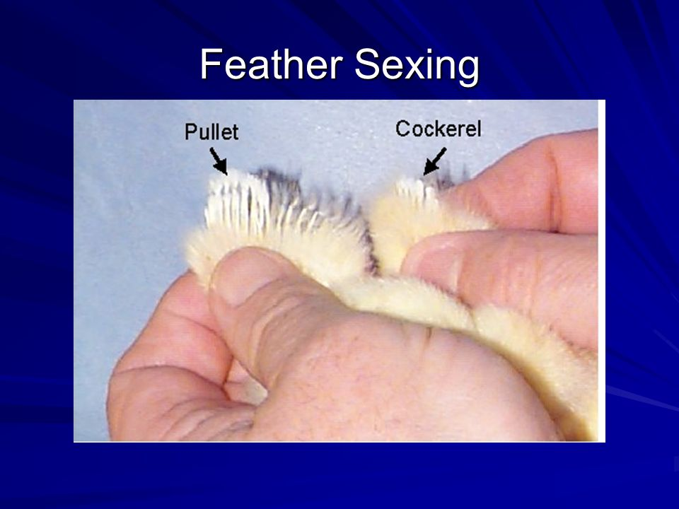 Feather Sexing *Slow feathering is caused by a sex linked dominant gene. Rapid feathering is associated with the recessive allele.