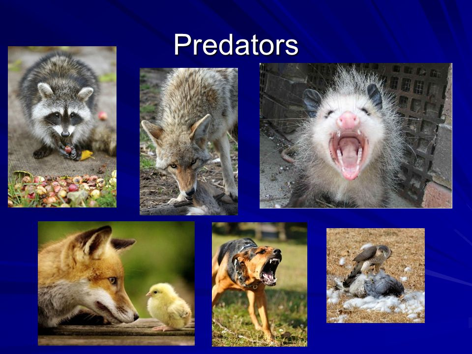 Predators Raccoons have opposable thumbs and so can open latches. They usually just eat the head of the chicken or any eggs that are in the coop.