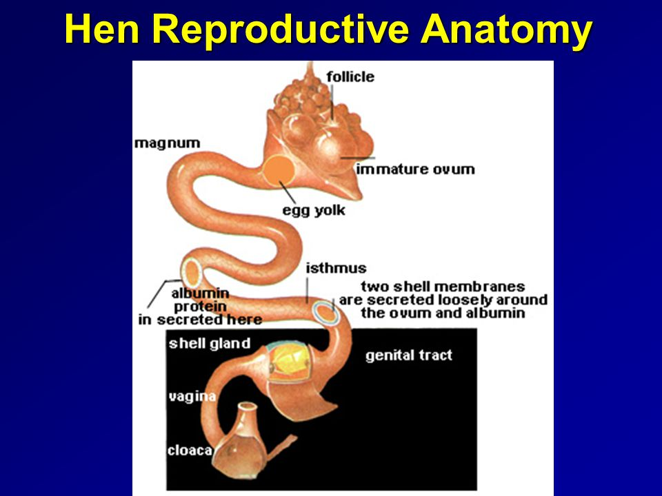 Hen Reproductive Anatomy