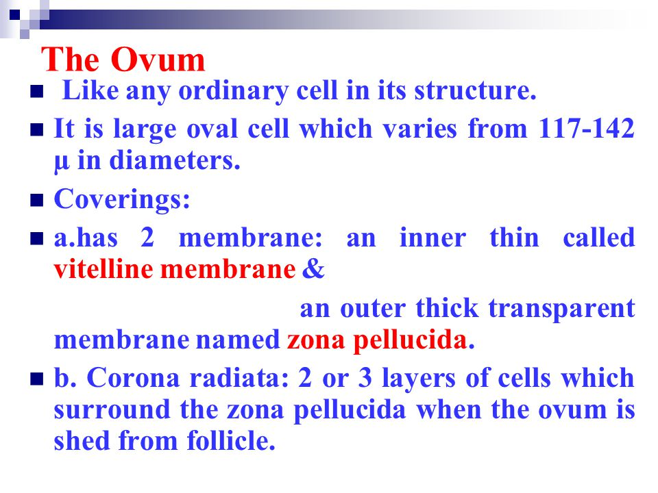 The Ovum Like any ordinary cell in its structure.