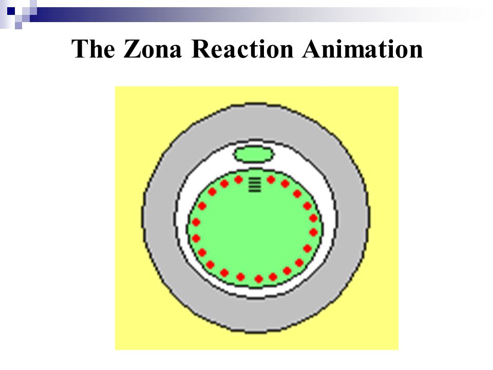 The Zona Reaction Animation
