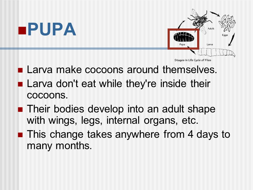 PUPA Larva make cocoons around themselves.