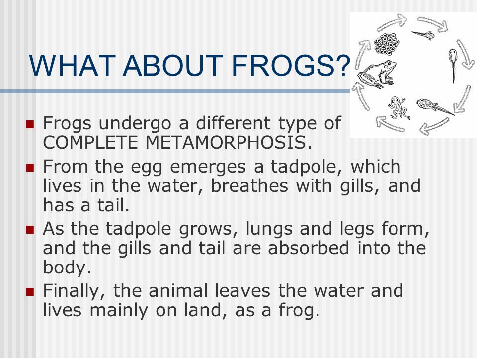 WHAT ABOUT FROGS Frogs undergo a different type of COMPLETE METAMORPHOSIS.