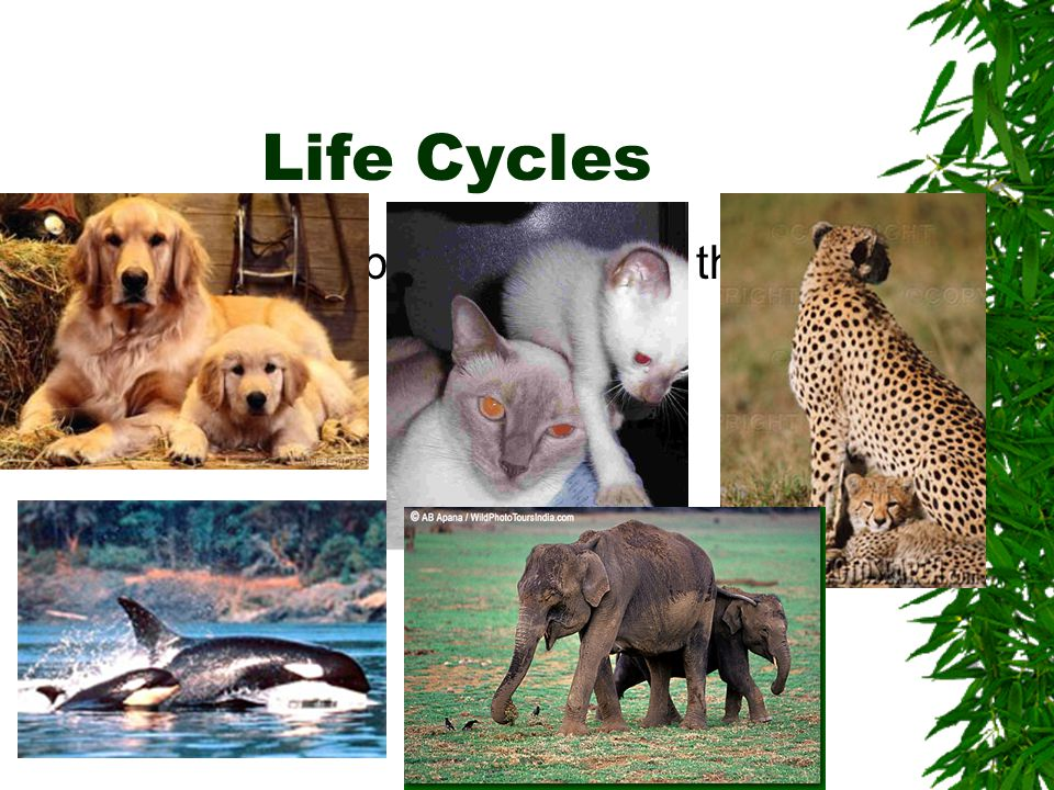 Life Cycles Some animal babies look like their parents.