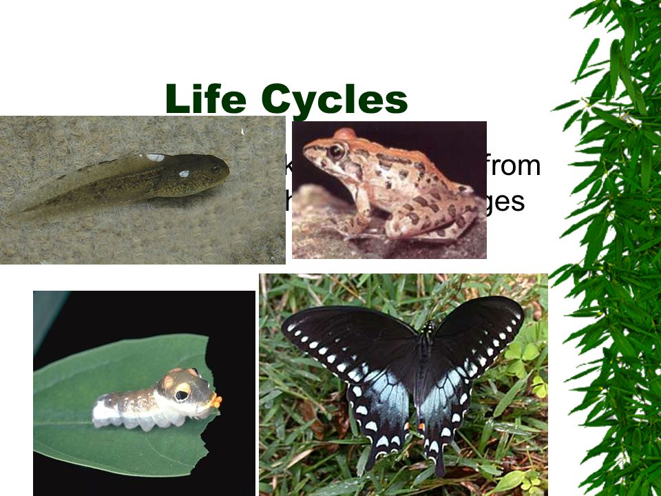 Life Cycles Some animals look very different from their parents, but their body changes as they grow.