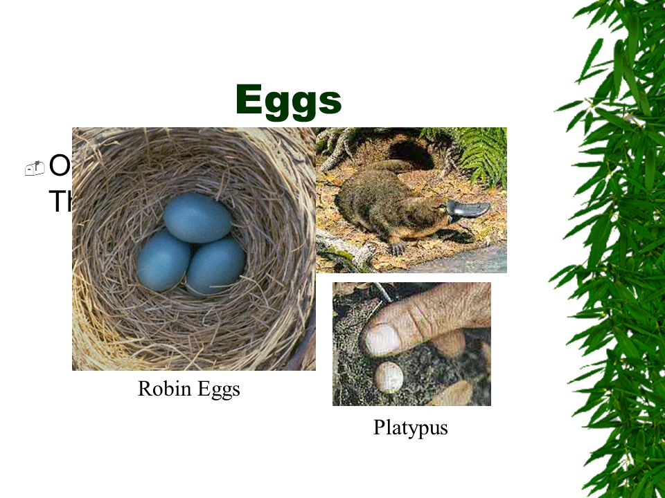 Eggs Robin Eggs Platypus Other animals lay just a few eggs. They will stay and protect them.