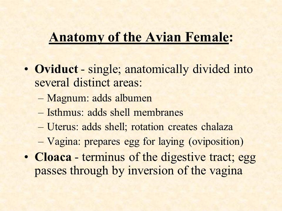 Anatomy of the Avian Female: