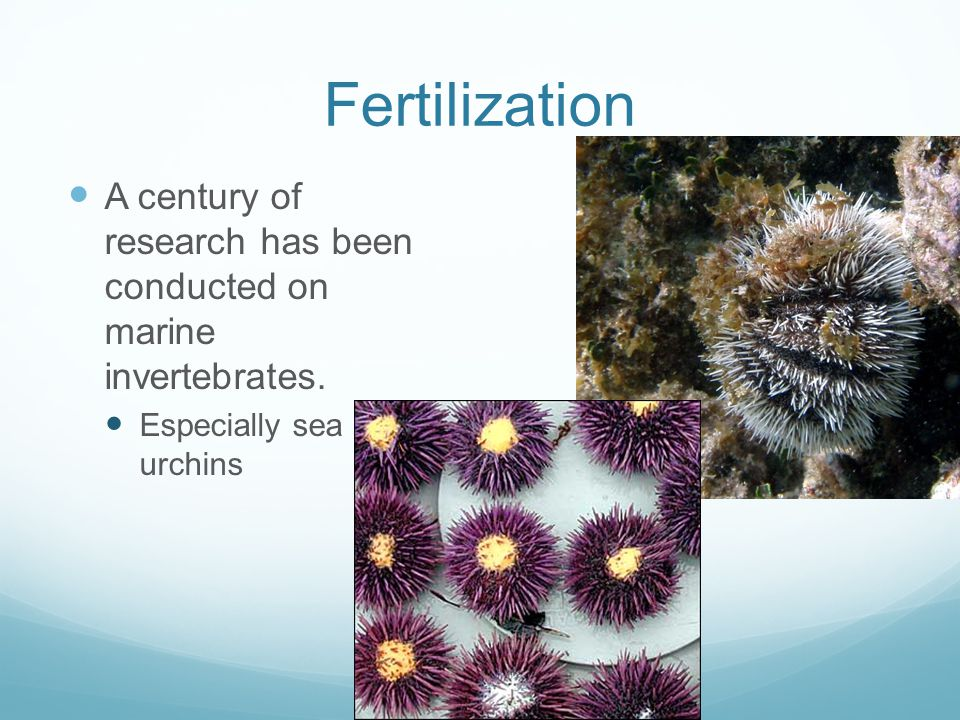 Fertilization A century of research has been conducted on marine invertebrates.