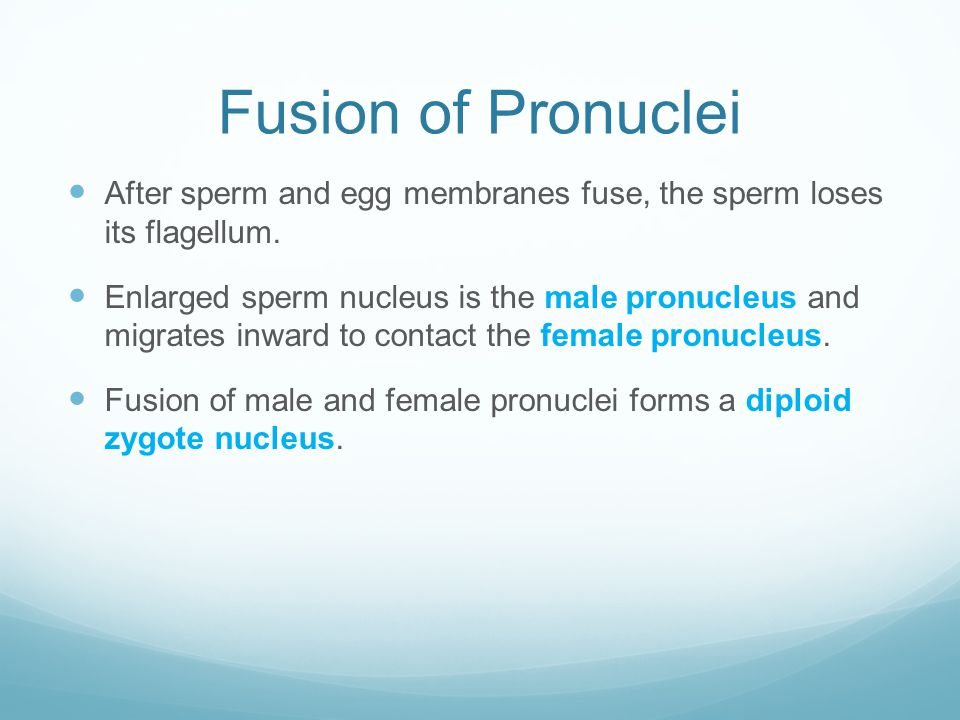 Fusion of Pronuclei After sperm and egg membranes fuse, the sperm loses its flagellum.